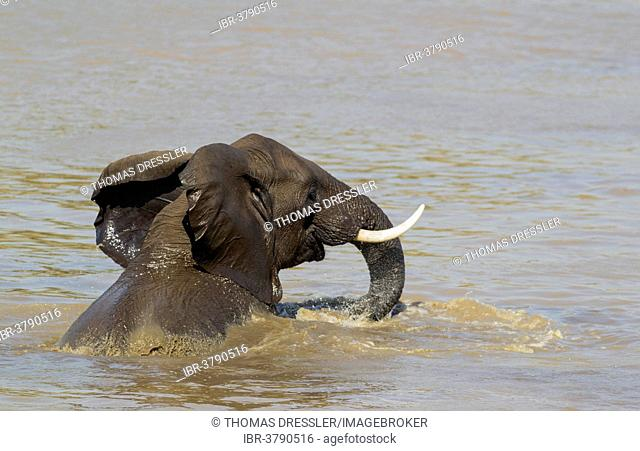 African Elephant (Loxodonta africana), bull bathing in the Shingwedzi River, Kruger National Park, South Africa