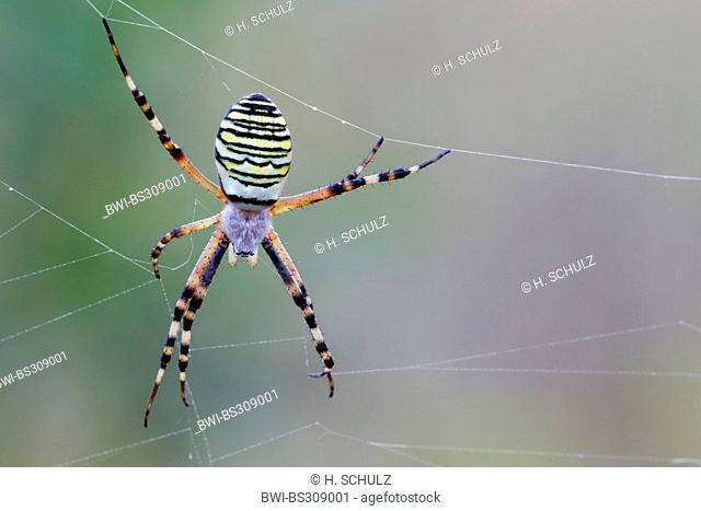 black-and-yellow argiope, black-and-yellow garden spider (Argiope bruennichi), female sitting in the spider web , Germany, Schleswig-Holstein