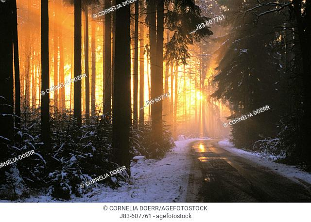Spruce forest with sunbeams. Bavaria. Germany