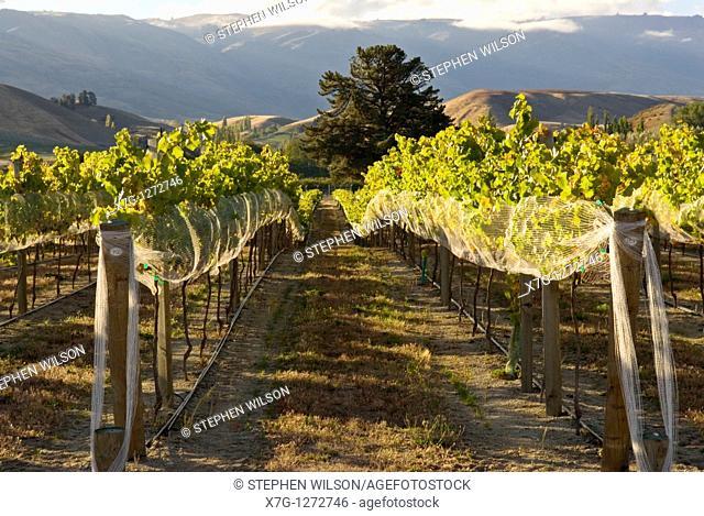 Vineyard near Cromwell and Lake Dunstan, Central Otago, New Zealand
