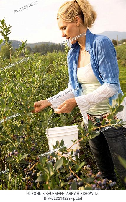 Caucasian woman picking blueberries on farm