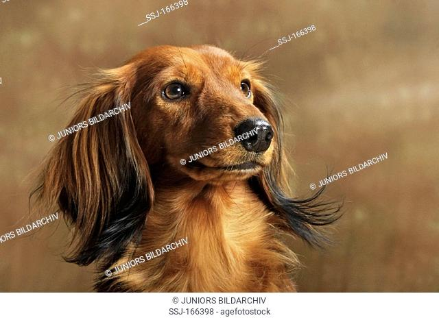 Long-haired Dachshund Canis lupus familiaris. Portrait of red adult