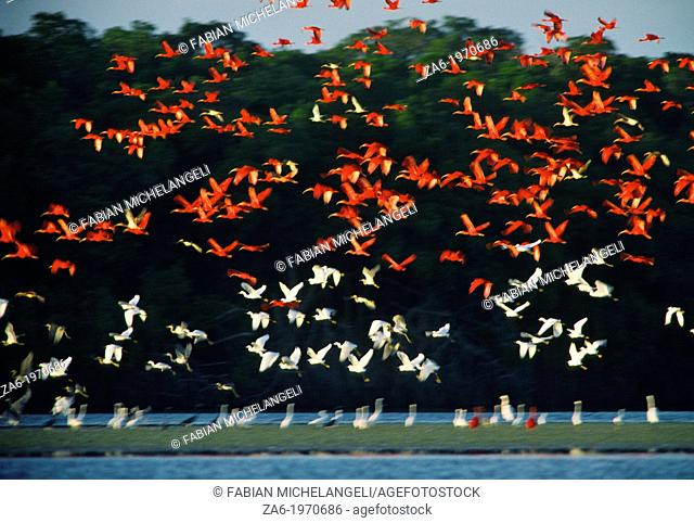 Mixed flock of Scarlet ibis (Eudocimus ruber) and Snowy egrets (Egretta thula) flying in the Tacarigua Lagoon, Northern Venezuela