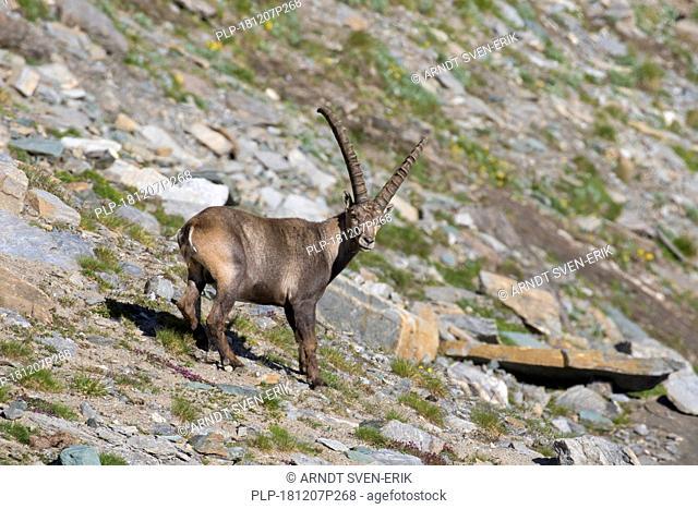 Alpine ibex (Capra ibex) male foraging on mountain slope in summer in the Hohe Tauern National Park, Austrian Alps, Carinthia / Kärnten, Austria