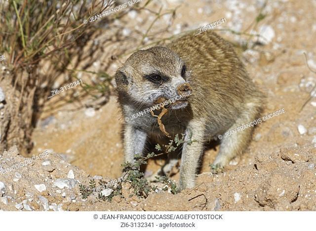 Meerkat (Suricata suricatta), adult animal at the burrow, feeding on a scorpion, Kgalagadi Transfrontier Park, Northern Cape, South Africa, Africa