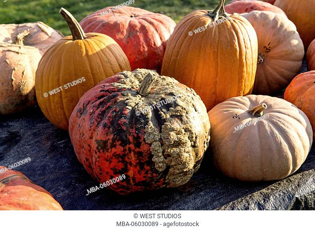 Squash, group, field, sunlight, lat.: Cucurbita, Fam: Pumpkin plants