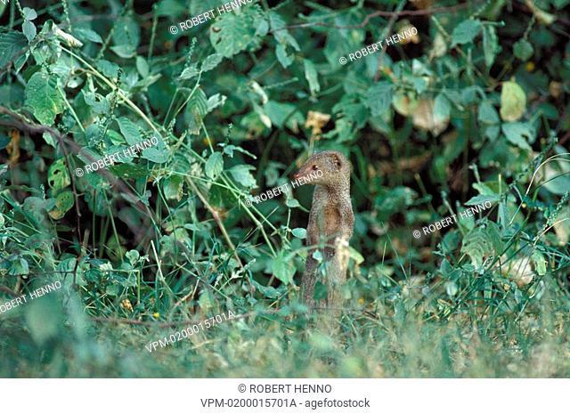 HERPESTES AUROPUNCTATUS - HERPESTES AUROPUNCTATA - HERPESTES EDWARDSIISMALL INDIAN MONGOOSE - COMMON GREY MONGOOSESTANDING IN BUSH