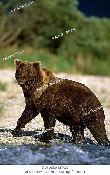 Brown Bear Walks Out of River Dripping Water SW AK Summer Geographic Harbor