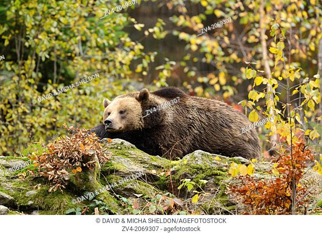 Close-up of a brown bear (Ursus arctos) in autumn in the bavarian forest