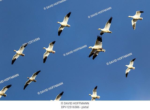 Snow geese (Anser caerulescens) migration in the Klamath Basin National Wildlife Refuge; Merrill, Oregon, United States of America