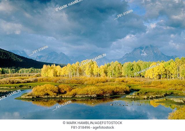 Cottonwoods, Aspens and Willow scrub in autumn. Oxbow Bend and Mount Moran. Grand Teton NP. Wyoming. USA