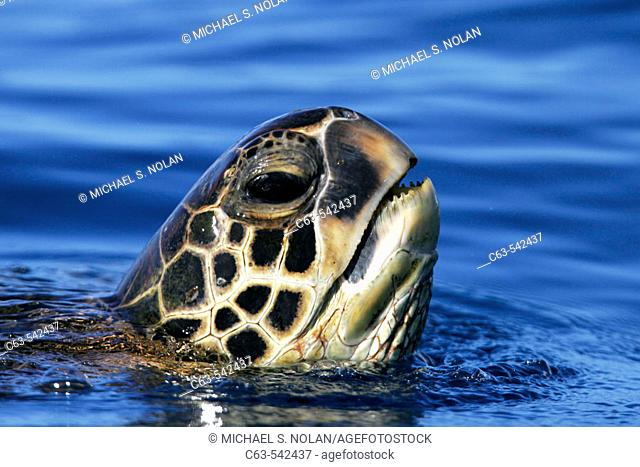 Adult Green Sea Turtle (Chelonia mydas) surfacing (head detail) off the coast of Maui, Hawaii, USA. Paific Ocean