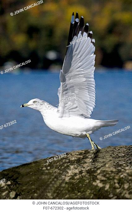 Ring-billed Gull (Larus delawarensis). New York. USA. Adult taking off from shore at a lake. Most commonly seen gull. Especially inland