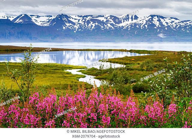 Dwarf Fireweed (Epilobium latifolium or Chamerion latifolium) in Skjalfandi bay. Husavik. Iceland, Europe