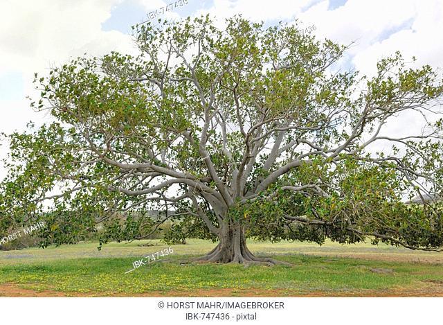 Moreton Bay Fig (Ficus macrophylla), Western Australia, Australia