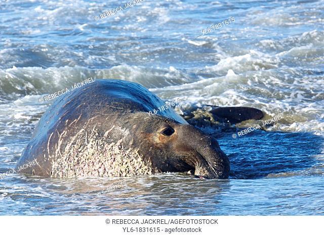 North America, USA, California, San Simeon  Northern Elephant Seal