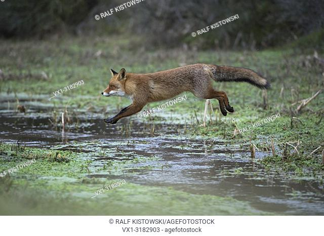 Red Fox ( Vulpes vulpes ), adult in winter fur, jumping over a little creek in a swamp, far jump, looks funny