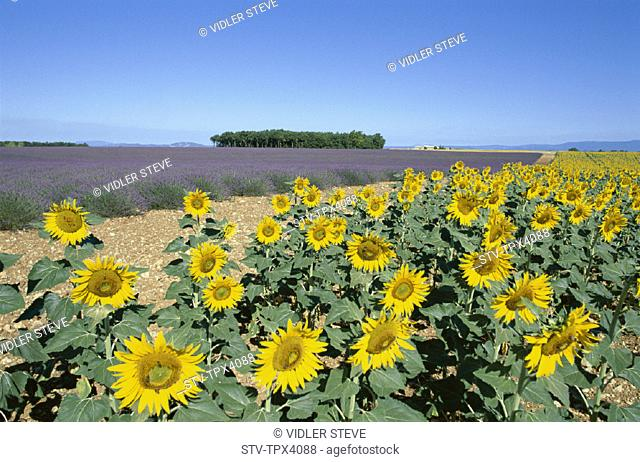 France, Europe, Holiday, Landmark, Provence, Sunflowers, Tourism, Travel, Vacation