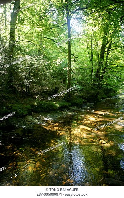 Beech forest trees with river flow under