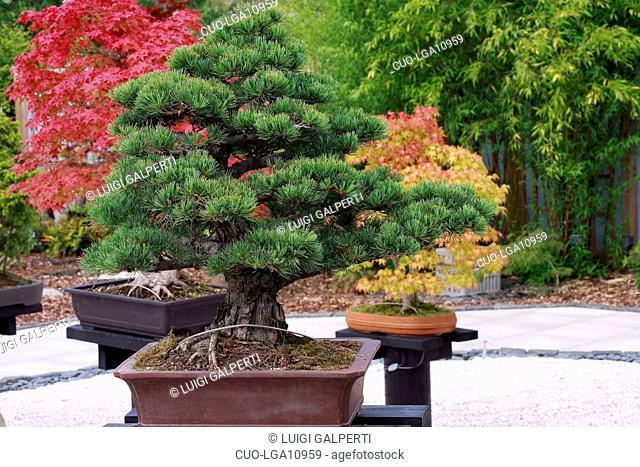 Pinus sp., bonsai