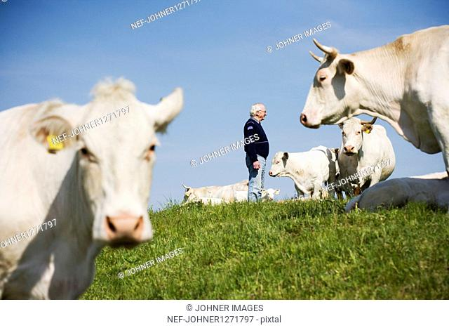 Farmer standing on pasture with grazing cows
