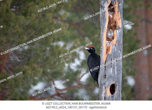 Male Black Woodpecker in winter, Black Woodpecker, Dryocopus martius