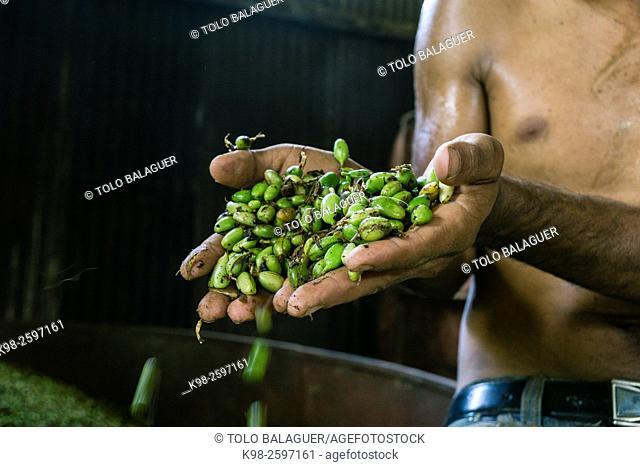 secadero de cardamomo, La Taña, zona Reyna, departamento de Uspantan,Guatemala, Central America