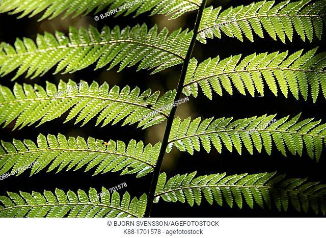 Detail of Mother Shield Fern Polystichum proliferum  Tasmania, Australia