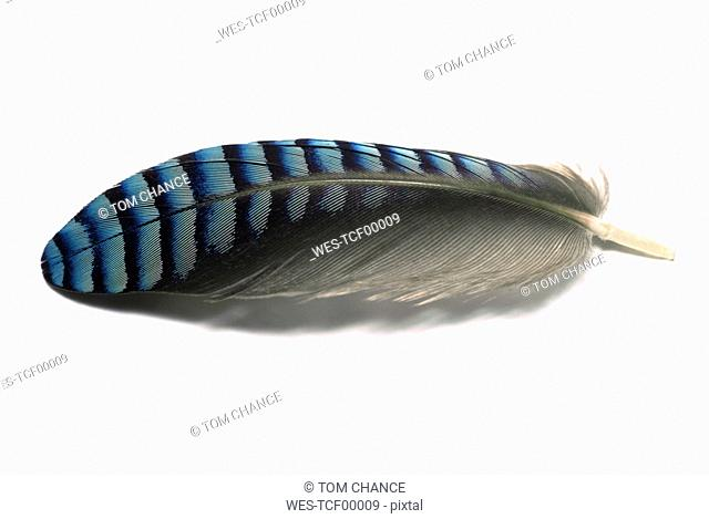Jay bird feather, close-up