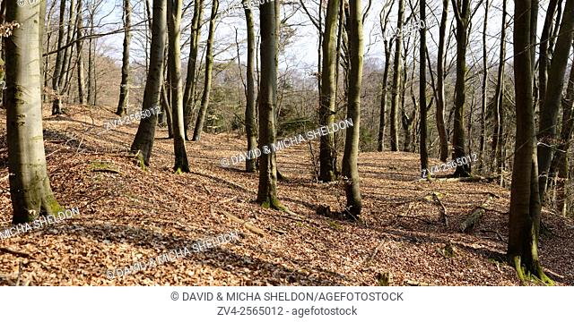 Panorama of tree trunks from a European Beech or Common Beech (Fagus sylvatica) in early spring, Bavaria, Germany