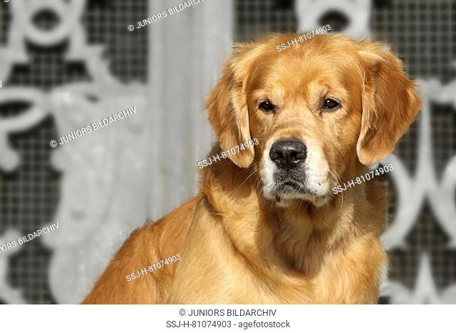 Golden Retriever. Portrait of male adult (8 years old). Germany