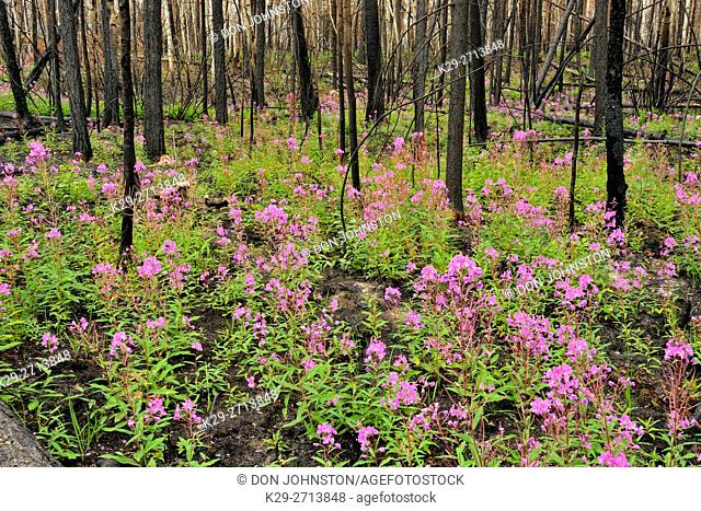 Blooming fireweed and blackened trees in a recent forest fire zone, Wood Buffalo National Park, Northwest Territories, Canada