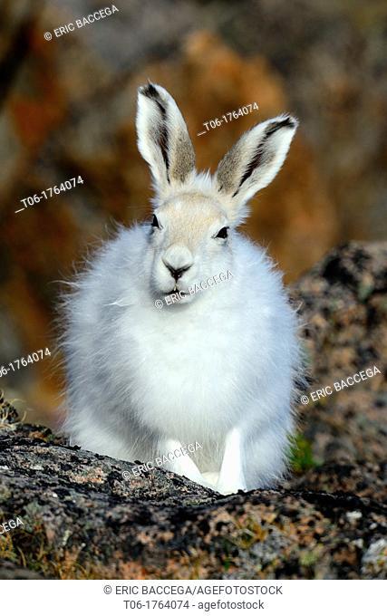 Arctic hare sitting in tundra Lepus arcticus Ellemere Island, Nunavut, Canada