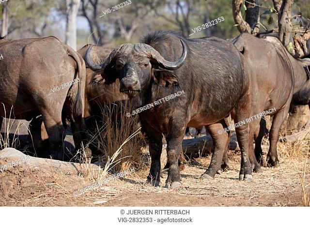 ZAMBIA, SOUTH L, 01.10.2010, African buffalo, Syncerus caffer, South Luangwa National Park, Zambia, Africa - South L, Zambia, 01/10/2010