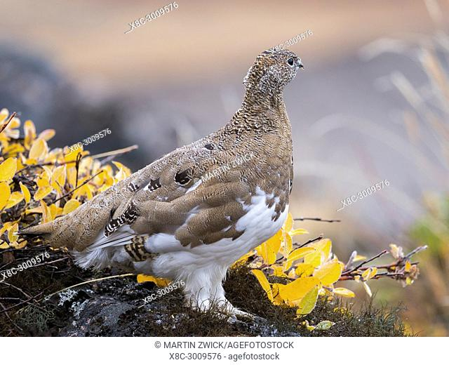 Rock Ptarmigan (Lagopus muta) in autumnal Tundra in the north west of Greenland. America, North America, Greenland, Denmark, August