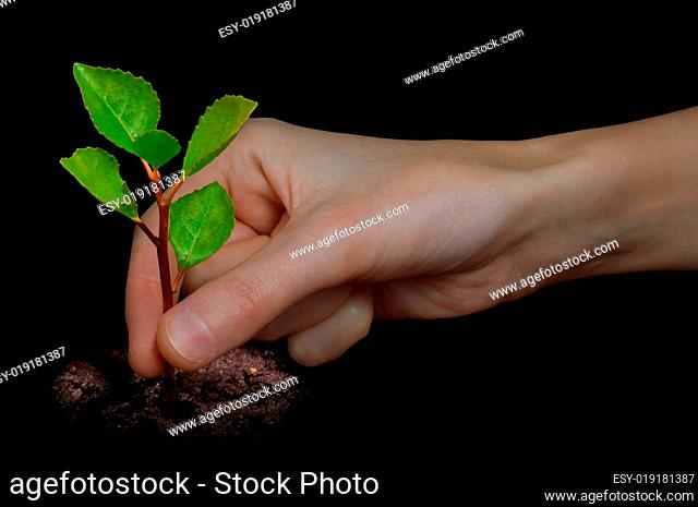 Hand planting a young tree