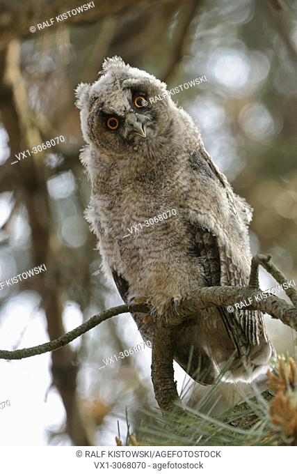 Long-eared Owl ( Asio otus ), moulting fledgling, sitting in a pine tree, watching down, funny, comical, wildlife, Europe