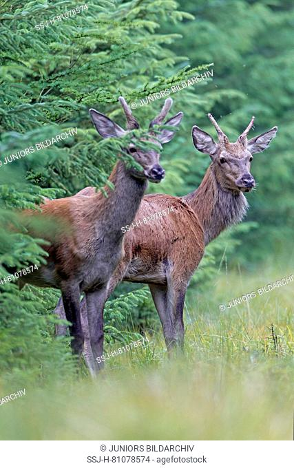 Red Deer (Cervus elaphus). Two brockets standing at the forest edge. Denmark
