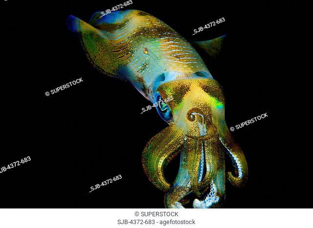 Bigfin Reef Squid, Sepioteuthis lessoniana, at night