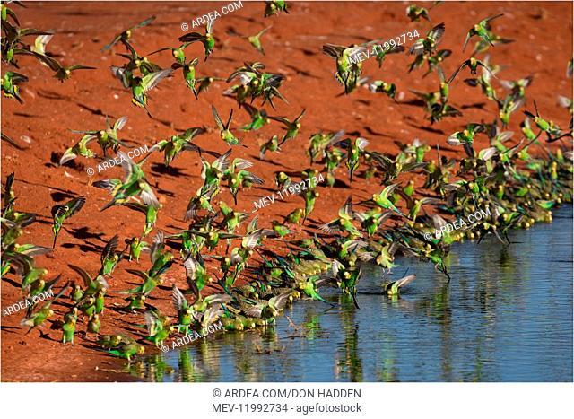Budgerigars - Drinking - Papunya Aboriginal Community water treatment plant - Northern Territory - Australia Budgerigars - Drinking - Papunya Aboriginal...