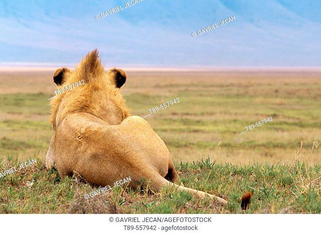 Africa, Tanzania, Ndutu, Ngorongoro Conservation Area, Male African Lion (Panthera Leo)
