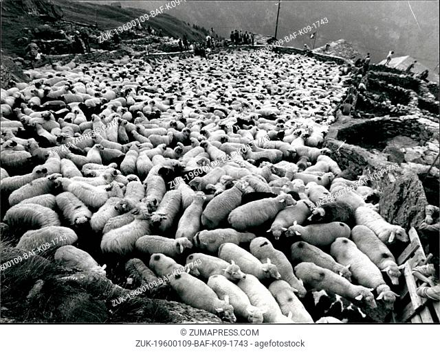 1968 - Back from the Alpine pastures - Thousands of sheep of the native black nouse breed of Swiss Canton. Valais (Western Switzerland) were driven back from...