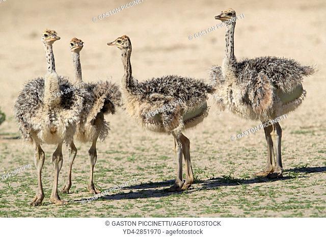 Common ostrich (Struthio camelus) - , Kgalagadi Transfrontier Park, Kalahari desert, South Africa