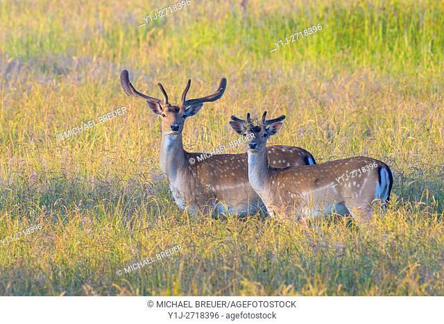 Fallow Deers (Cervus dama), Hesse, Germany, Europe