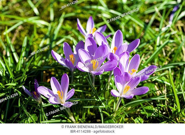 Purple Crocuses (Crocus tommasinianus) blooming in a meadow, Germany