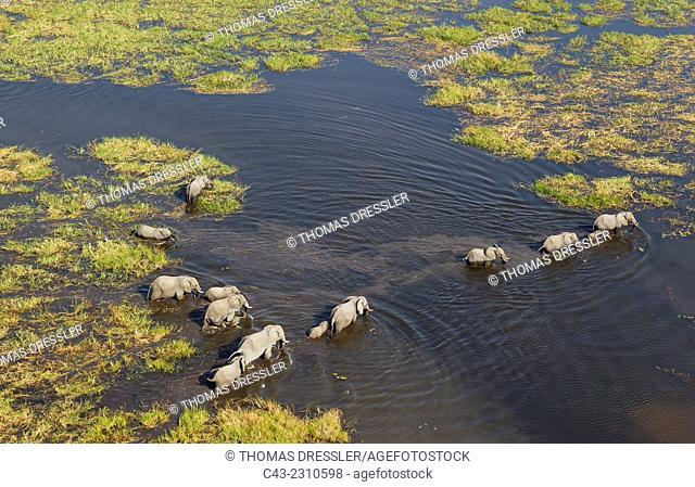 African Elephant (Loxodonta africana), breeding herd crossing a stream, aerial view, Okavango Delta, Moremi Game Reserve, Botswana