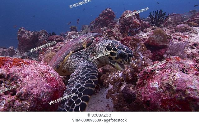 MS Hawksbill Turtle Eretmochelys imbricata eating soft coral on reef. Maldives, Indian Ocean