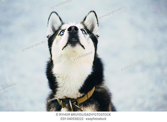 Close Up Young Happy Husky Puppy Eskimo Dog Looking Up Outdoor In Winter, Snow Background