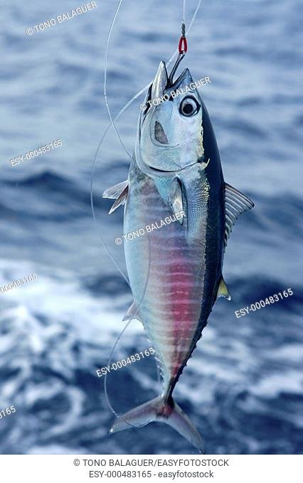 Blue fin bluefin tuna catch and release on Mediterranean