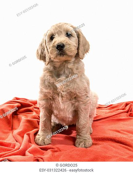 Blond labradoodle looking up with his big soulful eyes